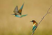 Bee-eater (Merops apiaster) in flight, Bienenfresser, near Nikopol, Bulgaria