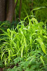 Milium effusum 'Aureum' in the Nuttery at Sissinghurst. Bowles Golden Grass