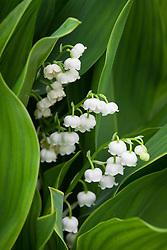 Convallaria majalis 'Hardwick Hall' . Lily of the valley