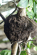 wasps nest at Manuel Antonio National Park, (Parque Nacional Manuel Antonio), Costa Rica