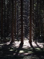 CZECH REPUBLIC VYSOCINA NEDVEZI 16JUL11 - Spruce and Pine forest near the village of Nedvezi in Vysocina, Czech Republic.....jre/Photo by Jiri Rezac....© Jiri Rezac 2011