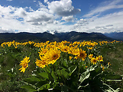 Balsamroot wildflowers bloom along the Patterson Mountain trail in Winthrop in the Methow Valley. (Bettina Hansen / The Seattle Times)