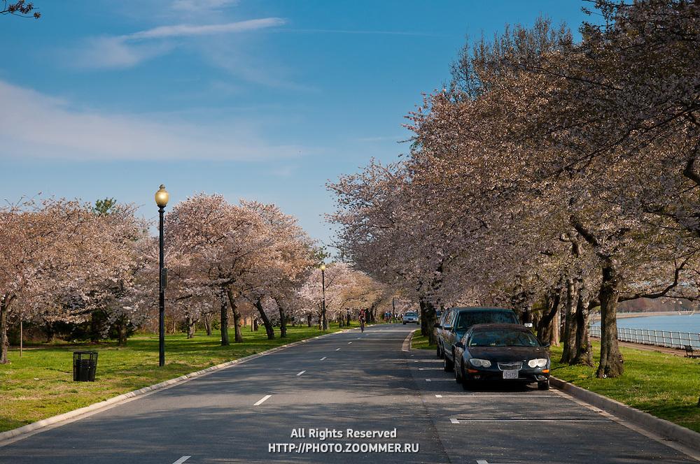 Potomac park during Cherry Blossom festival (near Tidal basin D.C. )