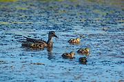 USA, Washington, Ridgefield National Wildlife Refuge, a Gadwall hen (Anas strepera) and her ducklings.