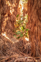 A young native desert fan palm emerges from the Coachella Valley Oasis in the shade of hundreds of other fan palms that reach nearly 50' high. Thanks to the San Andreas Fault, over which this small oasis lies and takes advantage of the cracks in the earth deep below from which groundwater seeps.