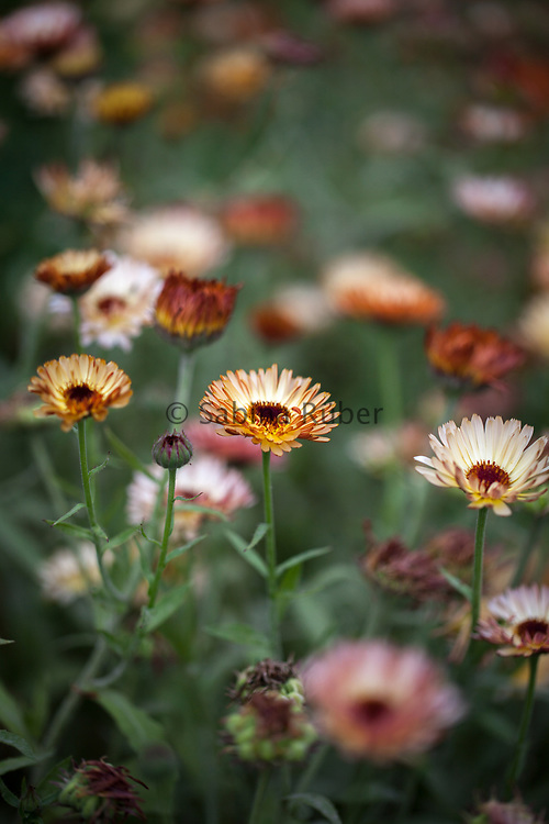 Calendula officinalis 'Touch Of Red Buff' - marigold