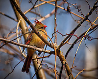 Inquisitive female Northern Red Cardinal perched in a sunny tree in my backyard. Winter nature in New Jersey. Image taken with a Nikon D2xs camera and 80-400 mm VR lens (ISO 400, 400 mm, f/5.6, 1/1000 sec).