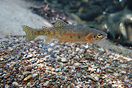 Westslope Cutthroat<br /> <br /> Todd Pearsons/Engbretson Underwater Photography