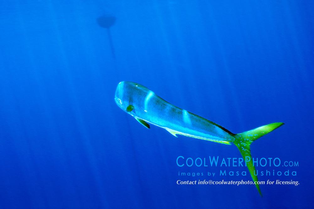 mahi mahi, dolphin fish, or dorado bull, .Coryphaena hippurus, free-swimming, .at FAD (Fish Aggregation Device), .Kona, Big Island, Hawaii (Pacific)