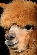"""Alpaca (Hyacaya) (Lama pacos), brown alpaca. Alpaca is a domesticated species of South American camelid. Alpacas are kept in herds on the level heights of the Andes and were bred specifically for their fiber. There are two types of alpacas, the Huacaya and the Suri. They differ in the structure of fiber: The Huacaya alpaca has a fine, uniformly crimped fiber (crimp) and few guard hairs (top hairs), which are very fine. The animals are usually shorn once a year. The raw wool can be make into high-quality alpaca yarn. Also in Germany are held increasingly more alpacas, partly as a hobby, some for breeding. There is a worldwide demand for alpaca wool in textile industry. Apart from silk and cashmere alpaca fiber is one of the most precious natural fibers. Softness, delicacy and an indescribable brilliance made it so popular. Today there are more than 22 natural colors of alpaca fiber. In colors from a deep black, brown, gray or pinkish gray to pure white. Alpaca wool has the best thermal properties. The inside hollow fibers stored body heat at cold. Meeden, Menterwolde, Groningen, the Netherlands.This picture is part of the series """"Creature's Coiffure""""..Alpaka (Hyacaya) (Lama pacos) Portrait eines brauen Alpakas. Das Alpaka ist eine aus den suedamerikanischen Anden stammende, domestizierte Kamelform, die vorwiegend ihrer Wolle wegen gezuechtet wird. Es gibt zwei Alpakatypen, das Huacaya und das Suri. Sie unterscheiden sich in der Struktur ihrer Faser: Das Huacaya-Alpaka hat eine feine, gleichmaessig gekraeuselte Faser (Crimp) und einige Grannenhaare (Deckhaare), die sehr fein sind. Die Tiere werden in der Regel einmal jaehrlich geschoren. Die Rohwolle kann zu hochwertigem Alpakagarn verarbeitet werden. Auch in Deutschland werden zunehmend mehr Alpakas gehalten, teils als Hobby, teils zur Zuechtung. Die Alpakawolle ist weltweit von der Textilindustrie sehr begehrt. Die Faser zaehlt neben Kaschmir und Seide zu den edelsten Naturfasern. Weichheit, Feinheit und ein unbesch"""