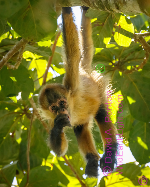 Spider monkey juvenile in an aguacatillo tree eating a fruit from the tree, which is known as wild avocado. Monteverde Cloud Forest Reserve, Costa Rica, © David A. Ponton
