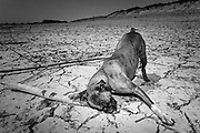 MEERS, NETHERLANDS - 27/04/2007Drought along the Meuse River. Dog playing on a dry shore <br /> <br /> Maas, Meuse, border, drought, <br /> <br /> <br /> ©Christophe Vander Eecken
