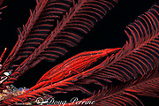 crinoid shrimp, Periclimenes sp., camouflaged <br /> to match red arms of host crinoid or feather star,<br /> Vava'u, Tonga, South Pacific