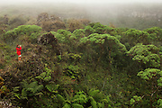 Vegetation in Highlands of Santa Cruz Island.<br /> Galapagos Islands<br /> ECUADOR.  South America<br /> The highland zone consists of lush evergreen forest. This is due to the mist or 'garúa' that the cool trade winds bring from the southeast. Between 300 and 700 meters is a zone dominated by a single tree species - (Scalesia), an endemic genus of the daisy or sunflower family. These trees can reach heights of up to 10 meters. At higher altitudes in this zone there are trees such as cat's claw (Zanthoxylum fagara) and shrubs such as milkberry (Chiococca alba) the most distinctive change is the abundance of epiphytes. These are plants such as mosses, liverworts, bromeliads and vines that cling to others but are not parasites. The dense growth of brown mosses has given the name 'brown zone' to the habitat above the scalasia forest. Above this 'brown zone' another plant the (Miconia) has given its name to the zone. Sadly this plant is severely endangered due to fires and human activity. Above this habitat are few trees and the eroded uplands are covered in ferns, sedges and grasses. This habitat is known as the pampa.