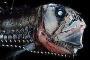 [captive] Deep Sea Viperfish (Chauliodus sloani), Deep Sea fish, Atlantic Ocean close to Cape Verde | Tiefsee Fisch | Mit den langen Zähnen kann der Vipernfisch (Chauliodus sloani) seine Beute packen und festhalten. Ist diese aber zu groß, so dass er sie weder verschlingen noch wieder ausspucken kann, stirbt er mit der Beute im Maul. (Atlantik)