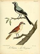 Pendeur (Top) and Rousseau (Bottom) from the Book Histoire naturelle des oiseaux d'Afrique [Natural History of birds of Africa] Volume 2, by Le Vaillant, François, 1753-1824; Publish in Paris by Chez J.J. Fuchs, libraire 1799