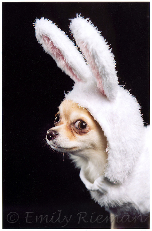Chihuahua in Bunny Suit