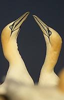 Gannets (Morus bassanus) displaying, Saltee Islands, Ireland