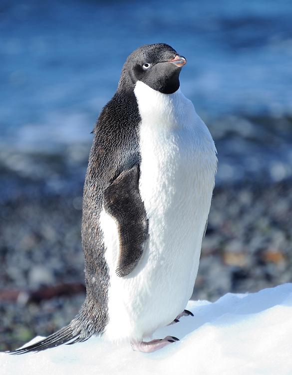 An Adélie penguin (Pygoscelis adeliae) stands on a lump of ice.   Brown Bluff, Antarctic Peninsula. Antarctica. 01Mar16