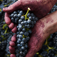 Hand picked Shiraz grapes at Wild Duck Creek Estate, Heathcote, VIC.