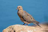 A Mourning Dove, Zenaida macroura, perches on a rock in the Riparian Preserve at Water Ranch, Gilbert, Arizona