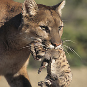 Mountain limon (Puma concolor) mother carrying its newborn cub. Rocky Mountains of Montana, Captive Animal