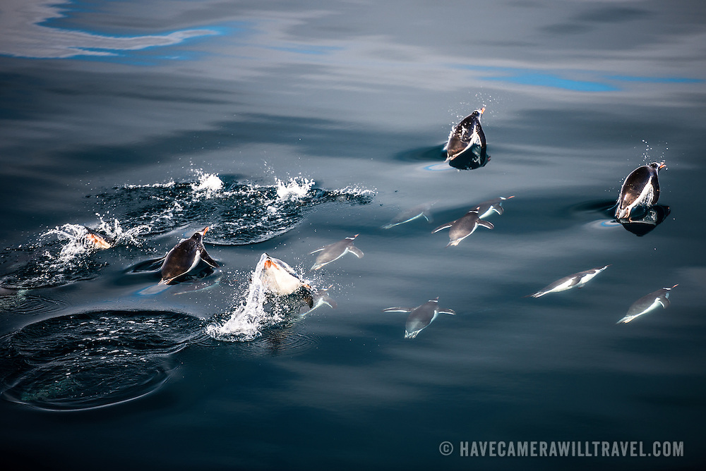 Chinstrap penguins fly just below the surface of the water in the calm waters off Anvers Island in Antarctica. From time to time they will break the surface before quickly arching back underwater.