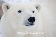 01874-108.03 Polar Bear (Ursus maritimus)  Churchill, MB Canada