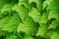 Athyrium americanum (Butters) Maxon, alpine ladyfern North Cascades Washington USA