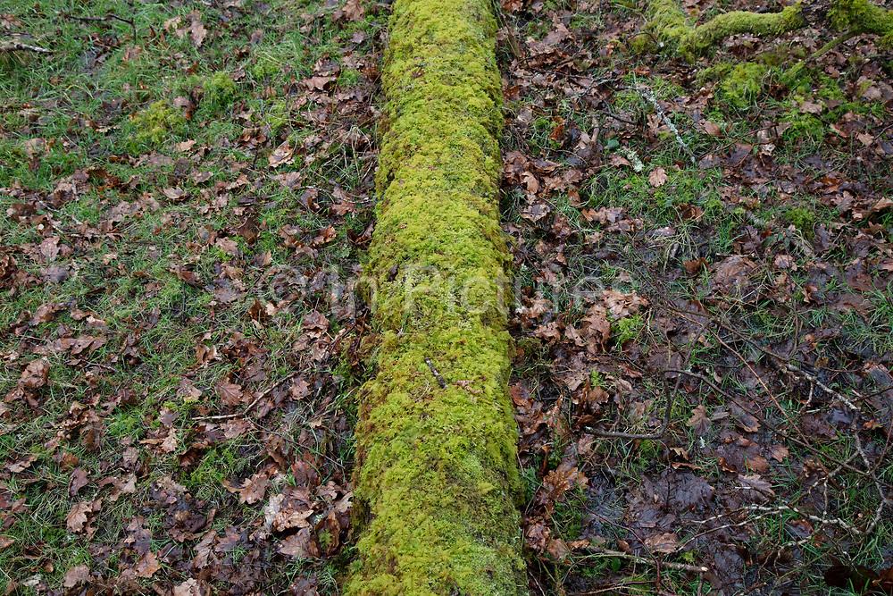 Moss covered fallen tree trunk near Llandovery, Wales, United Kingdom.