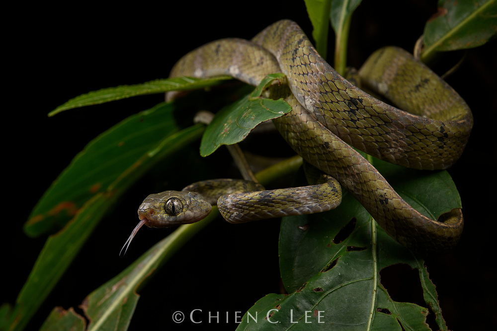 White-spotted Cat Snake (Boiga drapiezii), green morph. Sarawak, Malaysia (Borneo).