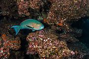 Blue-chin Parrotfish (Scarus ghobban)<br /> Rabida Island<br /> Galapagos<br /> Pacific Ocean<br /> Ecuador, South America
