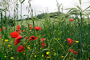 buttercups and poppyseed flowers growing at the edge of a wheat field