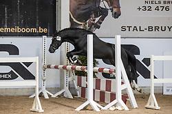 001, Walli van de Nieuweheide<br /> Hengstenkeuring Brp- Azelhof - Lier  2021<br /> © Hippo Foto - Dirk Caremans<br /> 14/04/2021