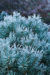 Pinus sylvestris 'Chantry Blue' covered with hoar frost in winter