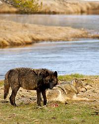 Wolves, Gibbon Pack