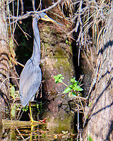 Tricolored Heron (Egretta tricolor). Loop Road. Big Cypress National Monument. Image taken with a Fuji X-T2 camera and 100-400 mm OIS lens.