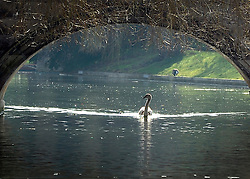 © Licensed to London News Pictures. 01/03/2012, Cambridge, UK. A swan swims under a bridge. People enjoy the sunshine on the River Cam in the grounds of  The University of Cambridge today, 1st March 2012. Photo credit : Stephen Simpson/LNP