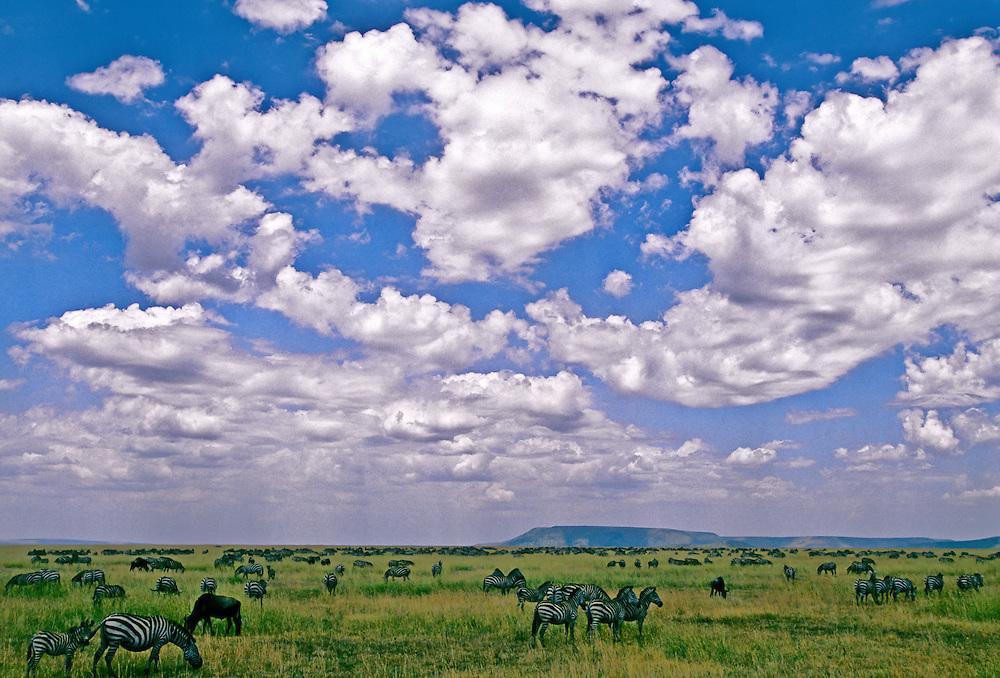 A herd of zebras on the grassland under a bright blue sky.
