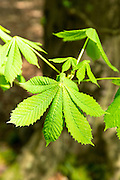 Leaves of Horse-Chestnut deciduous tree, Aesculus hippocastanum,  in Bruern Wood in The Cotswolds, Oxfordshire, UK