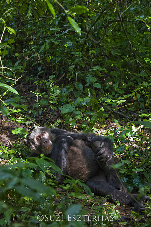 Chimpanzee<br /> Pan troglodytes<br /> Adult male resting in patch of sunlight on forest floor<br /> Tropical forest, Western Uganda