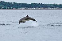 Junvenile Bottle-nosed Dolphin breaching,<br /> Tursiops truncatus,<br /> Moray Firth, Nr Inverness, Scotland - June