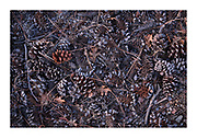 pine needles, cones and oak leaves in an arrangement on the forest floor in winter.