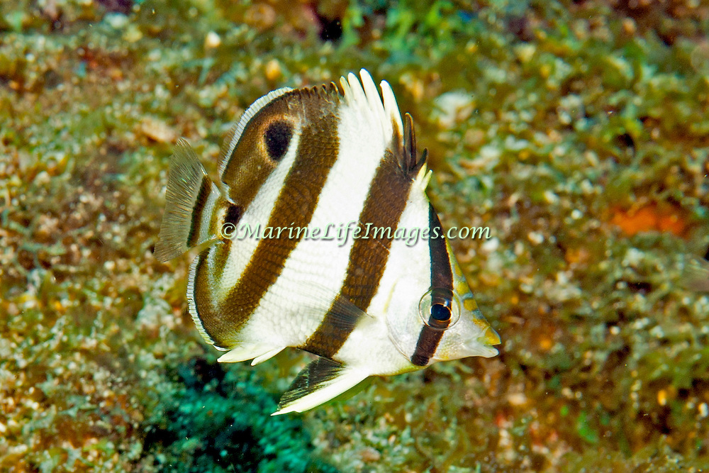 Banded Butterflyfish flit about reef tops, often in pairs in Tropical West Atlantic; picture taken Tobago.
