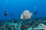 scuba divers observe gray angelfish, Pomacanthus arcuatus, off Playa del Carmen, Cancun, Quintana Roo, Yucatan Peninsula, Mexico ( Caribbean Sea )