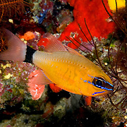 Ringtailed Cardinalfish form aggregations on sheltered reefs. Picture taken Fiji.