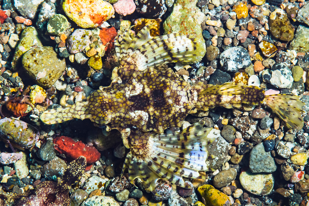 The amazing camouflage of a sea moth aka dragonfish (Eurypegasos draconis) on the seabed. Image made near Alor, Indonesia.