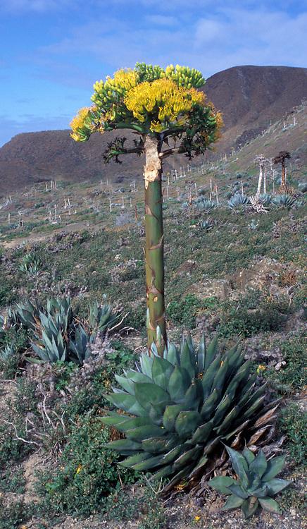 Agave Plant or Century Plant, near San Diego CA