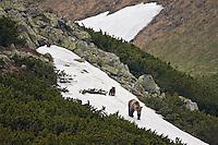 Wild European Brown bear (Ursus arctos), female with two yearling cubs walking on snow field on mountain ridge. Western Tatras, Slovakia. June 2009. Mission: Ticha
