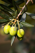 Three olives on an olive tree branch. Domaine la Monardiere Monardière, Vacqueyras, Vaucluse, Provence, France, Europe